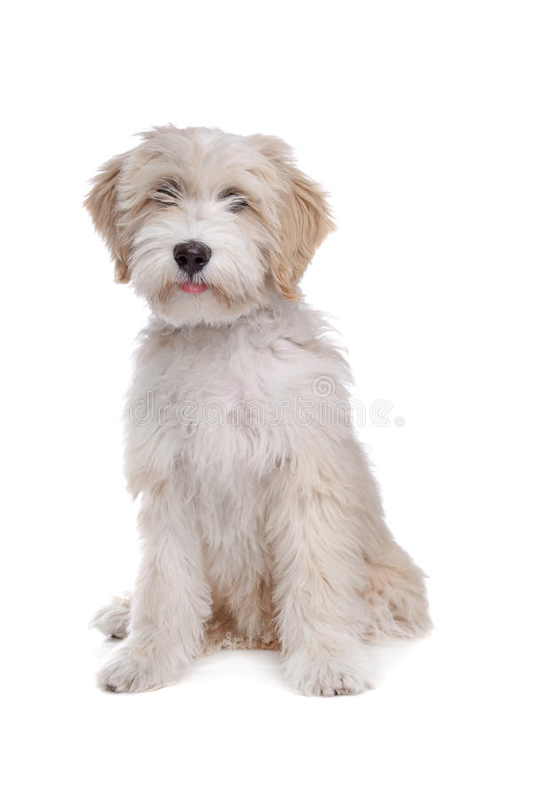 Terrier tibetano foto de stock royalty free