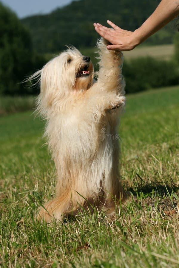 Terrier tibetano fotografia de stock