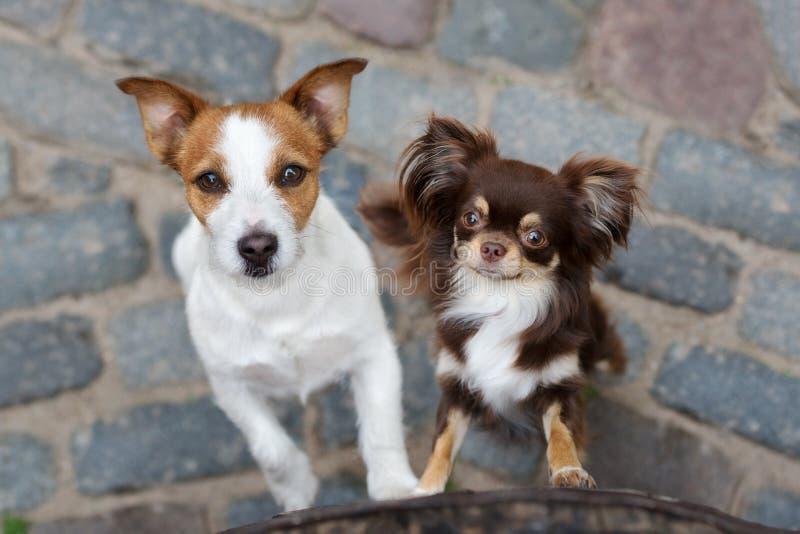 Terrier- und Chihuahuahunde Jacks Russell, die zusammen aufwerfen stockbilder