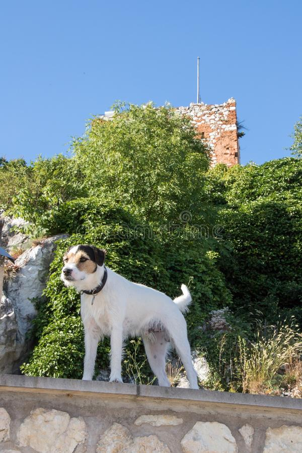 Terrier vigile che custodice la casa fotografia stock libera da diritti