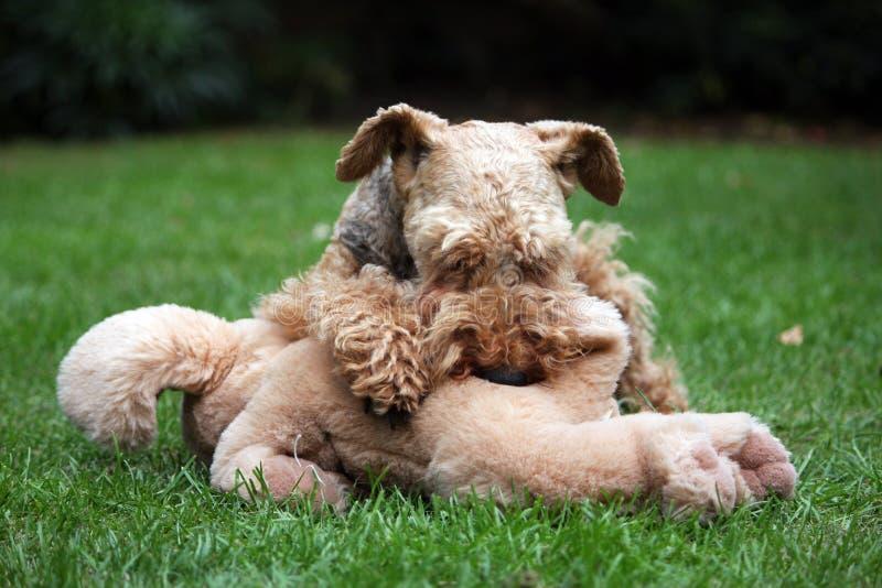 terrier welsh royaltyfri fotografi