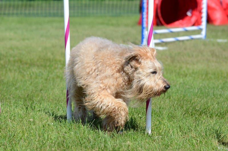 Terrier Wheaten Morbido rivestito ad una prova di agilità del cane immagini stock