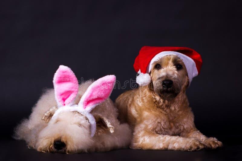 Terrier wheaten revestidos macios irlandeses fotografia de stock royalty free