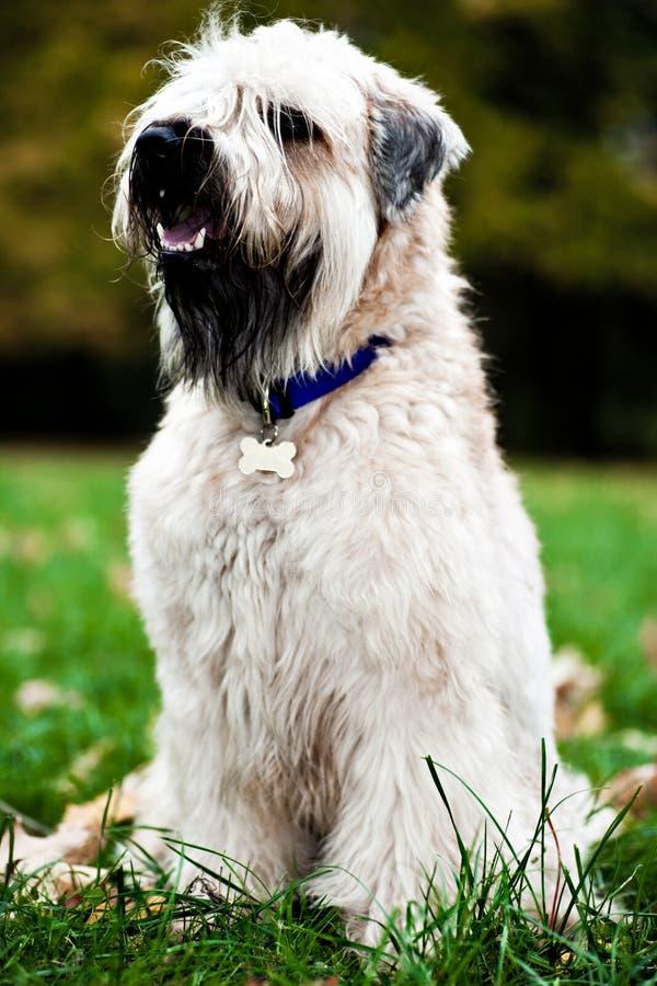Terrier wheaten rivestito molle irlandese divertente fotografie stock
