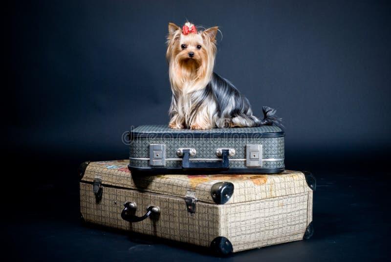 terrier yorkshire собаки случая стоковая фотография rf