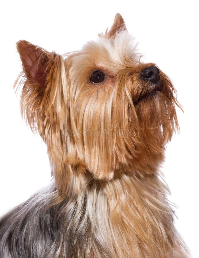 terrier yorkshire стоковое изображение rf
