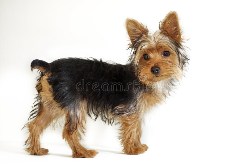 terrier yorkshire royaltyfria bilder