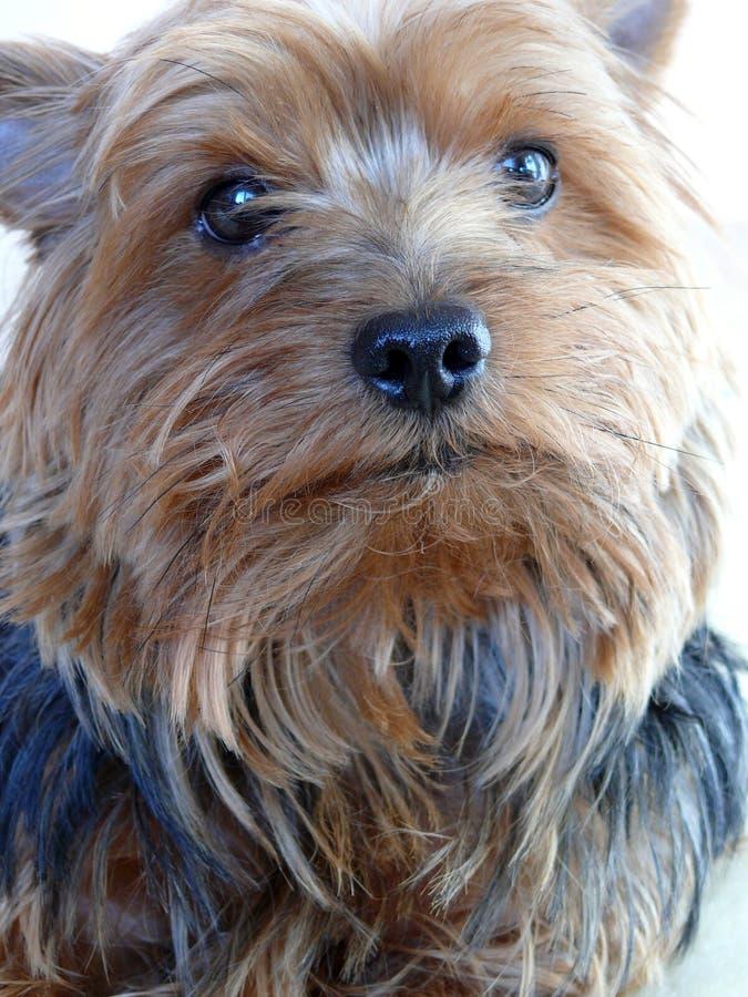 terrier yorkshire стоковые фотографии rf