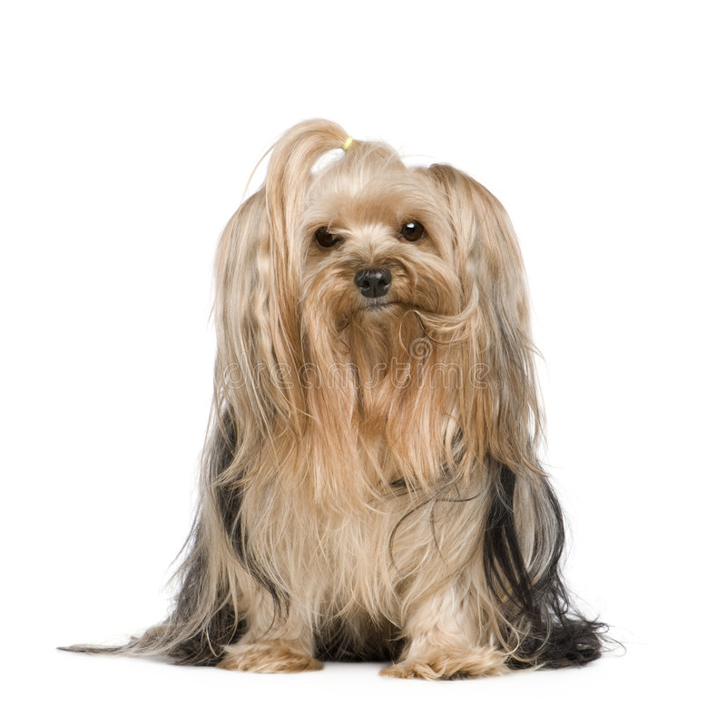 Download Terrier yorkshire стоковое фото. изображение насчитывающей peed - 6854396