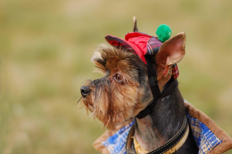 Download Terrier yorkshire стоковое фото. изображение насчитывающей green - 6862132