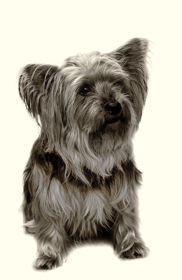 Terrier Yorkshire стоковое фото rf
