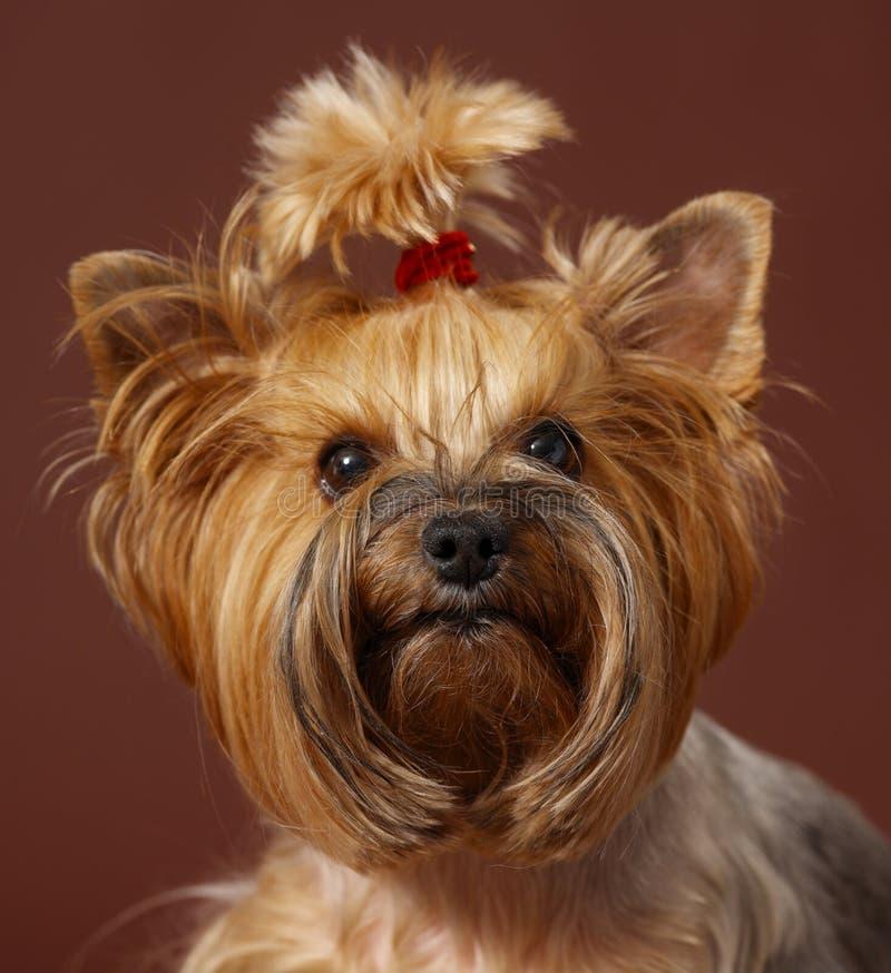 terrier yorkshire стоковая фотография