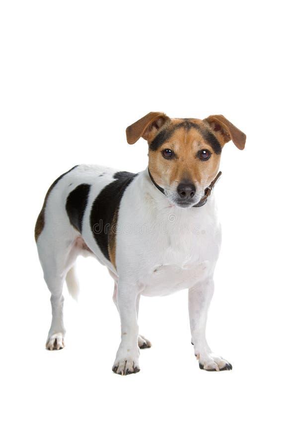 Terrierhund Jack-Russel lizenzfreie stockfotos