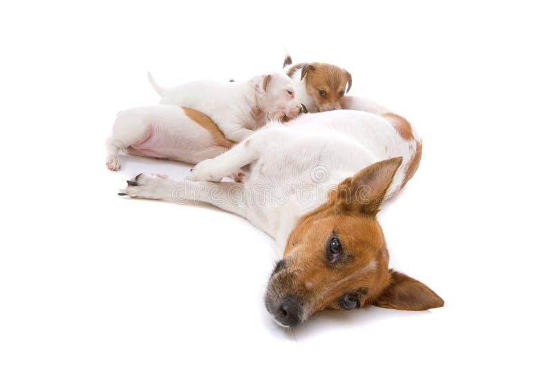 Terrierhund Jack-Russel mit trinkenden Welpen stockfoto