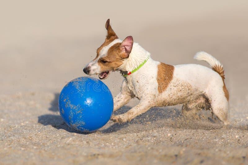 Terrierhundespielball Jacks Russell stockbild