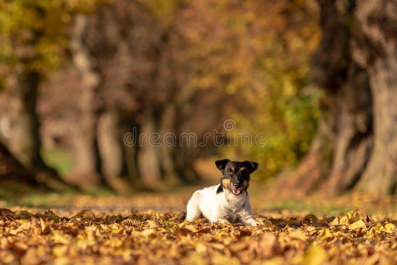 Terrierjagdhund Jacks Russell Junger netter Hund liegt eine Baumallee im Wald stockbilder