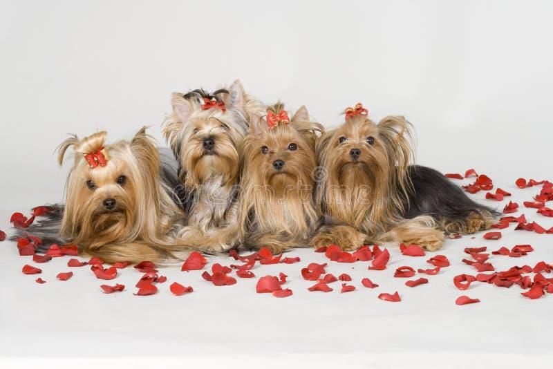 Terriers van Yorkshire op witte achtergrond stock foto