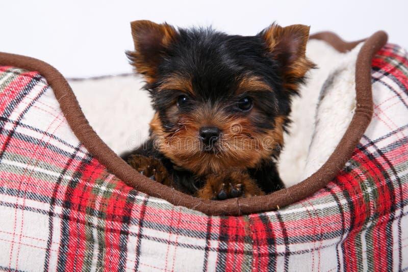 Terriervalp för tre som Yorkshire ligger i soffan i den röda cellen royaltyfria bilder