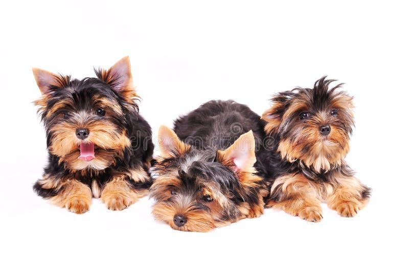 Terriervalp för tre Yorkshire arkivfoto