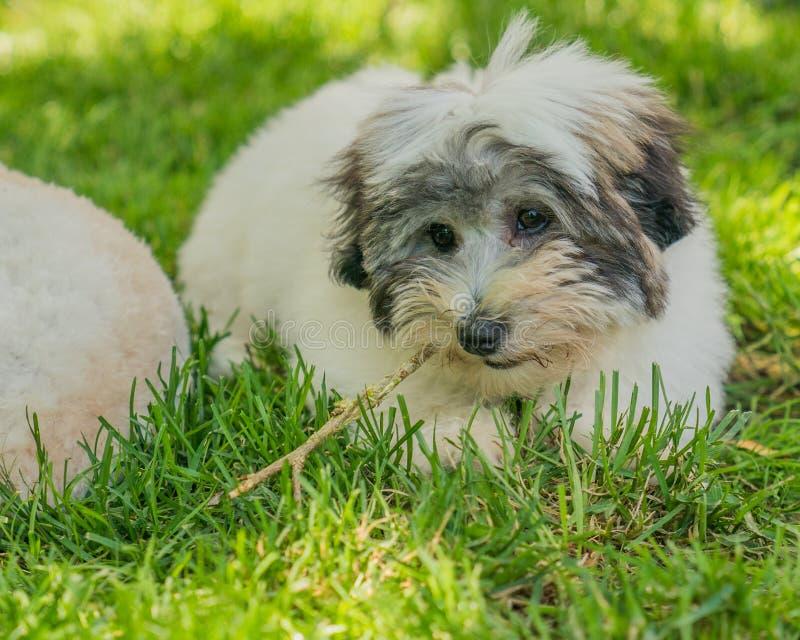 Terrierwelpe Baumwoll-de Tulear in der Sonne auf dem Gras stockbilder