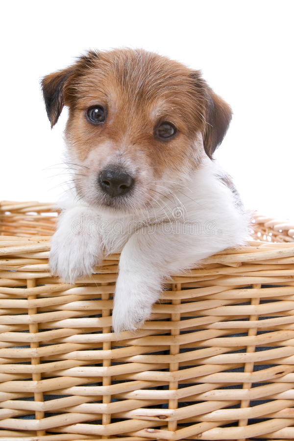 Terrierwelpe Jack-Russel stockfotos