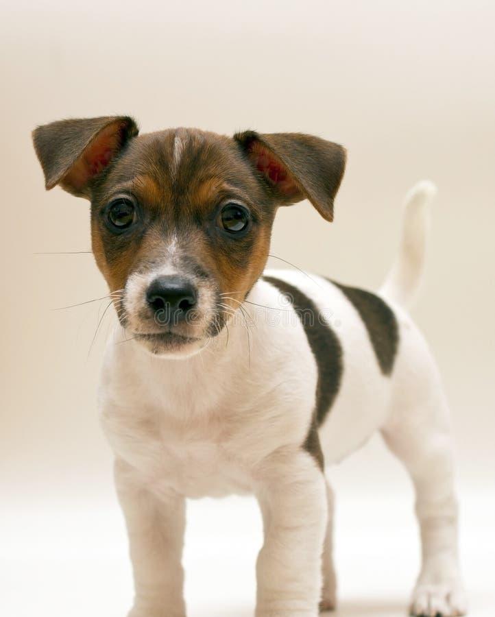 Terrierwelpe Jack-Russell lizenzfreie stockbilder
