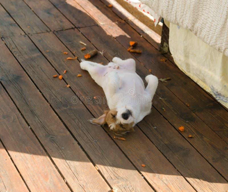 Terrierwelpe Jacks Russell schläft umgedreht auf der Terrasse an einem sonnigen Frühlingstag lizenzfreies stockfoto