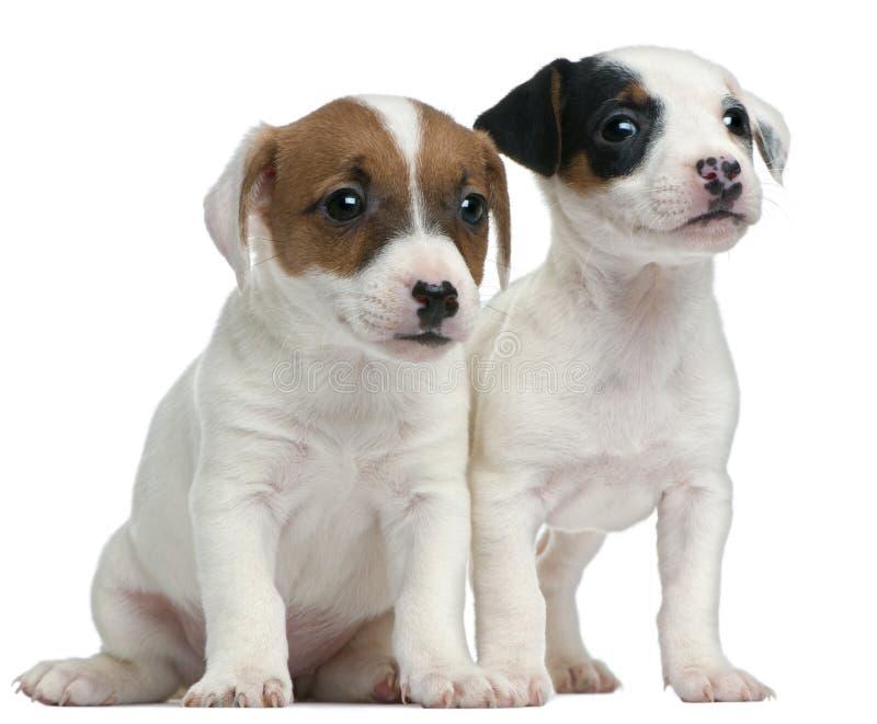 Terrierwelpen Jack-Russell, 7 Wochen alt lizenzfreies stockfoto