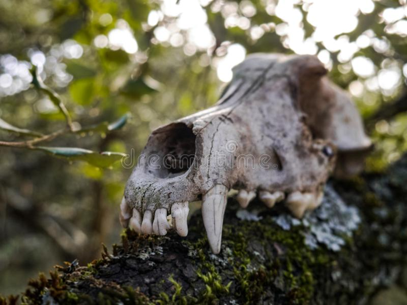 Skull of a dog in the forest, scary stock image