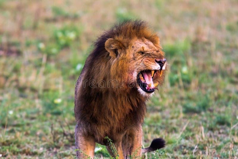 Terrifying рык африканского льва masai mara стоковые изображения rf