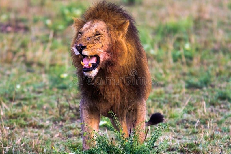 Terrifying рык льва masai mara стоковое изображение rf