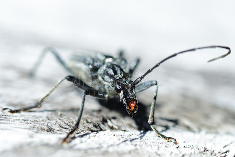 Download Terrifying black beetle stock image. Image of claws, antennae - 31348077