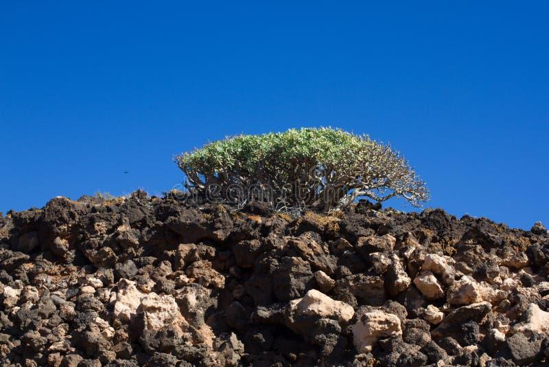 Território árido da ilha de Lobos, canário, Espanha Planta do balsamifera do eufórbio Dulce de Tabaiba Lanzarote fotografia de stock