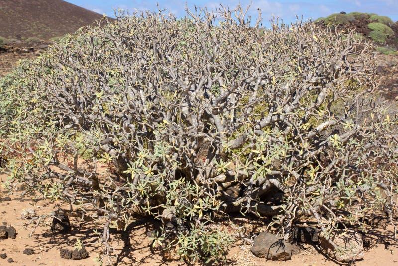 Território árido da ilha de Lobos, canário, Espanha Planta do balsamifera do eufórbio Dulce de Tabaiba Lanzarote imagens de stock royalty free