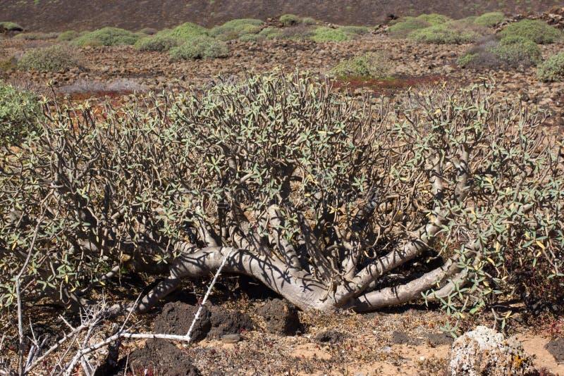 Território árido da ilha de Lobos, canário, Espanha Planta do balsamifera do eufórbio Dulce de Tabaiba Lanzarote foto de stock royalty free
