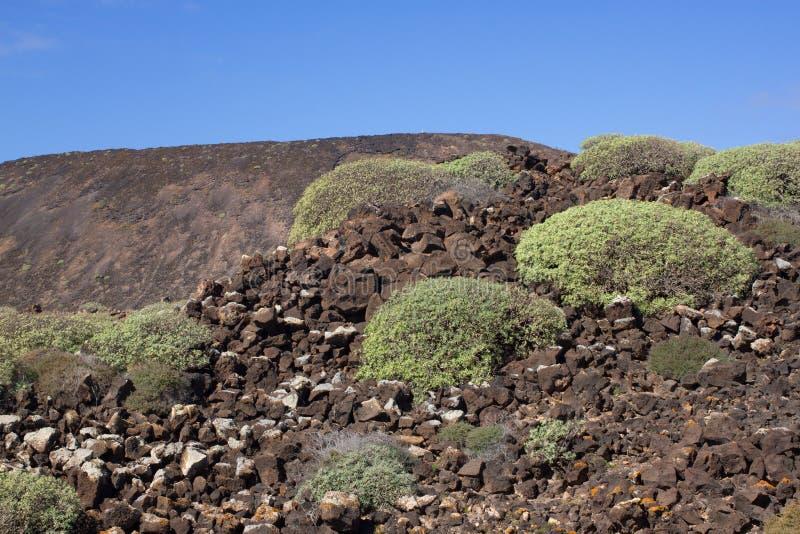 Território árido da ilha de Lobos, canário, Espanha Planta do balsamifera do eufórbio Dulce de Tabaiba Lanzarote fotos de stock royalty free