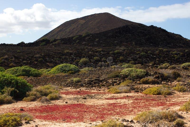 Território árido da ilha de Lobos, canário, Espanha Planta do balsamifera do eufórbio Dulce de Tabaiba Símbolo de Lanzarote fotos de stock