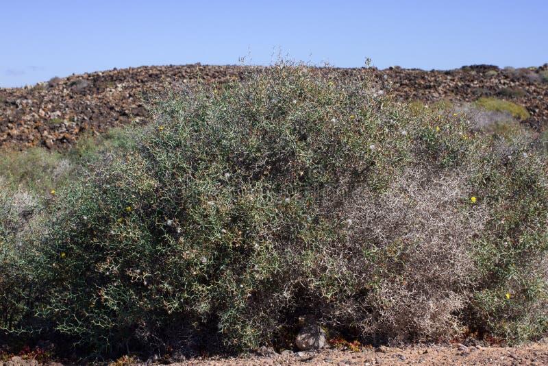 Território árido da ilha de Lobos, canário, Espanha Vegetação dos arborescens de Launaea imagem de stock