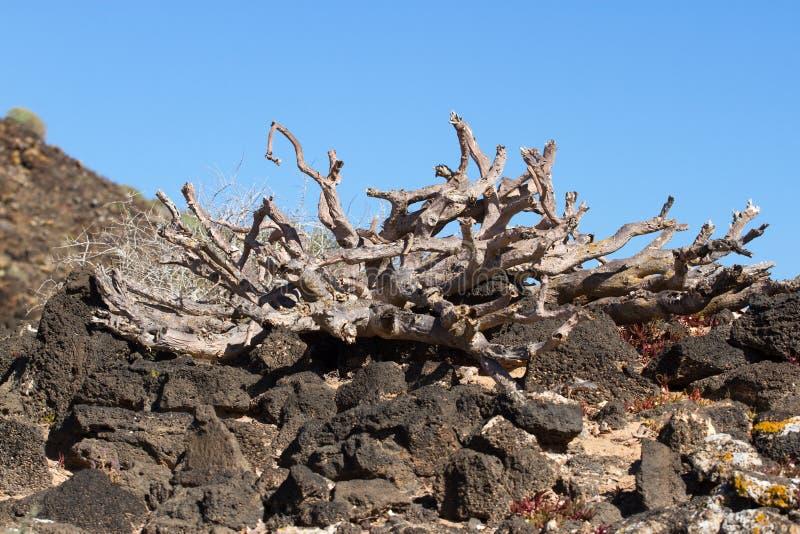 Território árido da ilha de Lobos, Espanha Planta do balsamifera do eufórbio Dulce de Tabaiba Símbolo de Lanzarote fotografia de stock