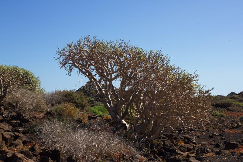 Territoire aride d'île de Lobos, canari, Espagne Usine de balsamifera d'euphorbe Dulce de Tabaiba Lanzarote photos stock