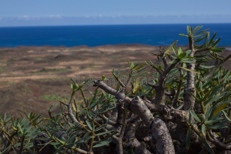 Territoire aride d'île de Lobos, canari, Espagne Usine de balsamifera d'euphorbe Dulce de Tabaiba Lanzarote image stock