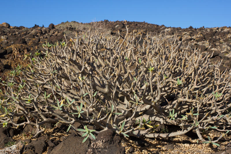 Territoire aride d'île de Lobos, canari, Espagne Usine de balsamifera d'euphorbe Dulce de Tabaiba Lanzarote image libre de droits