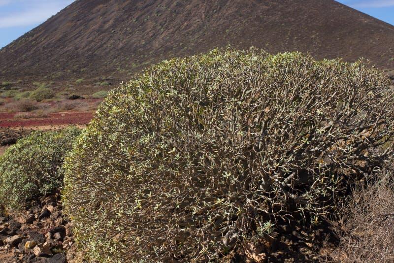 Territoire aride d'île de Lobos, canari, Espagne Usine de balsamifera d'euphorbe Dulce de Tabaiba Lanzarote photographie stock libre de droits