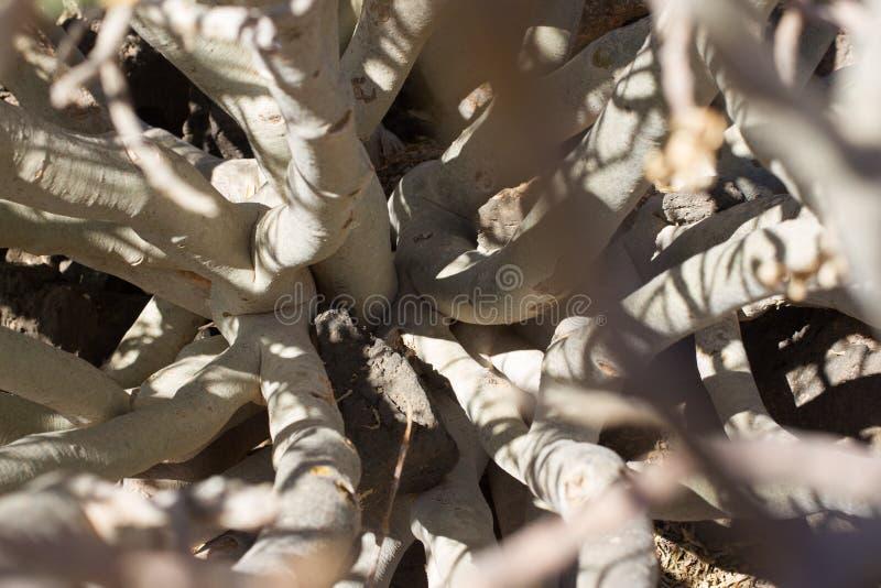 Territoire aride d'île de Lobos, canari, Espagne Usine de balsamifera d'euphorbe Dulce de Tabaiba Lanzarote images stock