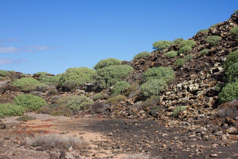 Territoire aride d'île de Lobos, canari, Espagne Usine de balsamifera d'euphorbe Dulce de Tabaiba Lanzarote images libres de droits