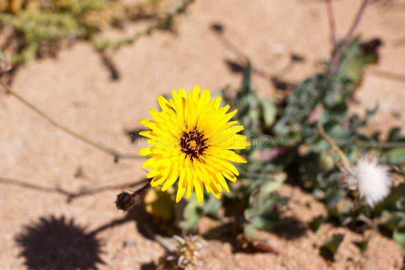 Territoire aride d'île de Lobos, canari, Espagne Végétation d'arborescens de Launaea image stock