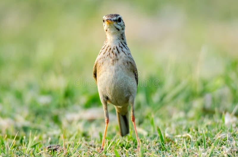 Territoriaal gedrag in de vogel van Paddyfield Pipit stock afbeelding