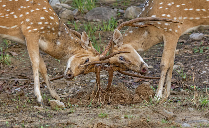 Territorial fight royalty free stock photo