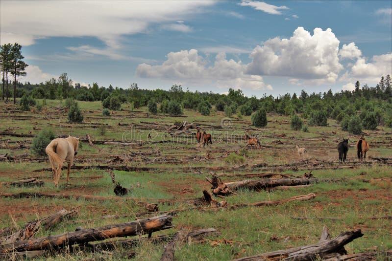 Territorio del cavallo selvaggio di Heber, foreste nazionali di Apache Sitgreaves, Arizona, Stati Uniti fotografia stock