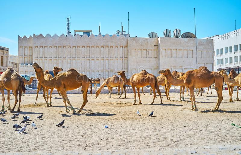 Camel pen in Doha, Qatar. The territory of Camel Pen, located in old town, next to the Souq Waqif, Doha, Qatar royalty free stock photography